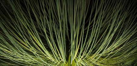 Green leaf background in banner format of grass tree in Australia photo