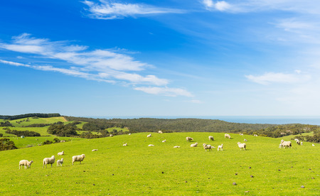 australia farm: Sheep and lambs in the field at spring time under bright blue sky Stock Photo