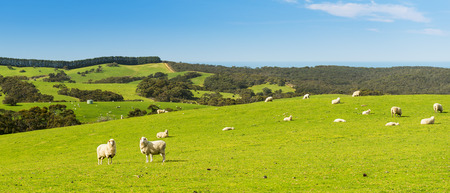 Sheep and lambs in the field at spring time under bright blue sky photo