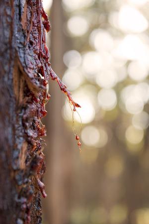 sap: Red sap from a Stringybark eucalyptus tree in Australia