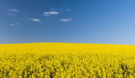 oilseed rape: Golden flowering canola field under a blue sky before harvest