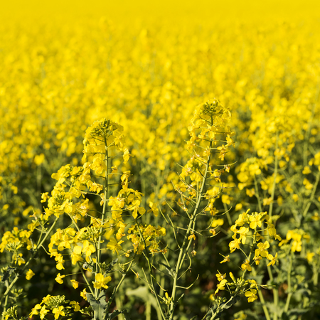 canola plant: Golden flowers of the canola plant before harvest