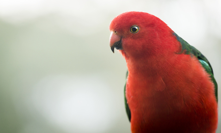 king parrot: Male Australian King Parrot bird with vibrant colours looking curious
