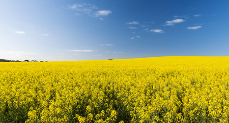 Rapeseed field with golden yellow flowers before harvest photo