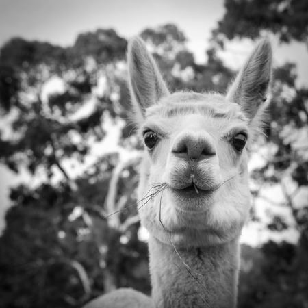 Alpaca op een Australische boerderij eten van gras in zwart-wit