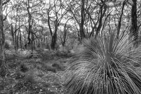 the deep south: Australian landscape of grass trees in South Australias Deep Creek Conservation Park in black and white Stock Photo