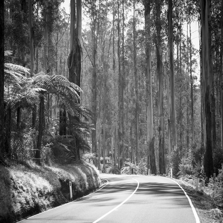 downunder: Towering trees and tree ferns in the forest along the Black Spur in the Yarra Valley, Victoria, Australia in black and white