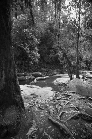 black and white forest: Forest in the Great Otways National Park along the Great Ocean Road, Australia in black and white Stock Photo