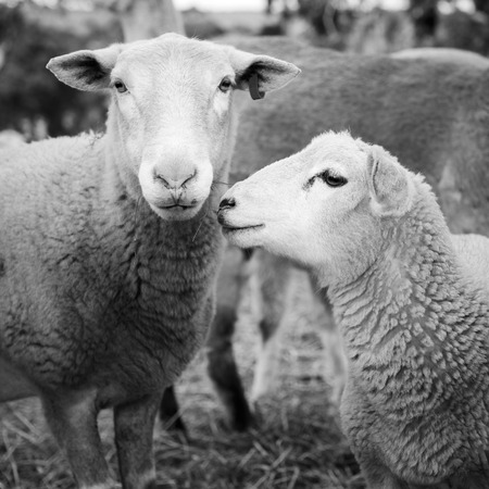 merino: Sheep and lambs in a paddock in Australia in black and white