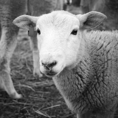 merino: Cute young lamb with clean white face looking into camera in black and white