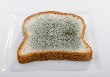 bread mold: Mold growing rapidly on moldy bread in green and white spores