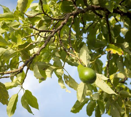 hass: Avocado tree with ripe avocado with blue sky background
