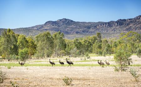 emu: Aves emú salvajes en el hermoso paisaje del Parque Nacional de Grampians Victoria