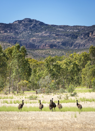 Wild emu birds in the beautiful landscape of Victorias Grampians National Park photo