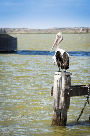 pelicans: Pelican sitting on old wooden post at the sea shore in South Australia Stock Photo