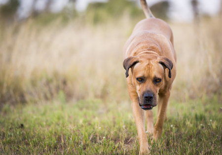 boerboel dog: Boerboel dog or South African Mastiff walking through grass Stock Photo