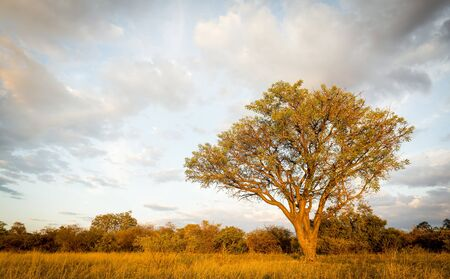 africa tree: Large classic tree in Botswana, Africa at sunset