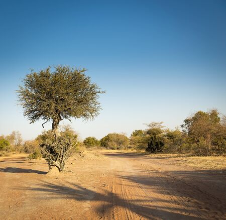 trees with thorns: The classic African Acacia tree, a symbol of Africa, grows wild in the dry Botswana landscape