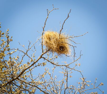 sociable: Weaver bird nests in an old dry tree in Botswana, Africa