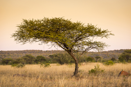africa tree: Large classic Acacia tree in Botswana, Africa at sunset Stock Photo