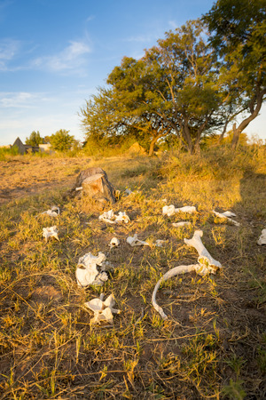 perish: Animal bones in a field after cattle perish from drought in Botswana, Africa Stock Photo