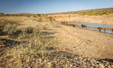 graze: Beef cattle graze near a watering hole in dry and hot conditions in Botswana, Africa