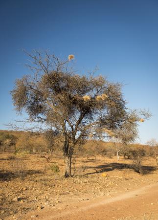 weaver bird: Weaver bird nests in an old dry tree in Botswana, Africa