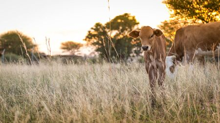 south africa: Young cow calf grazing in the meadows of Botswana, Africa