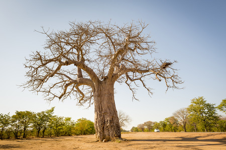 large tree: Massive Baobab tree in Botswana, Africa Stock Photo