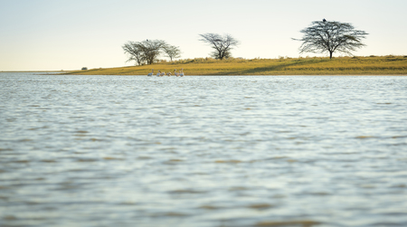 migrate: Pelicans in the Makgadikgadi Pan, Botswana, Africa with copy space in the foreground