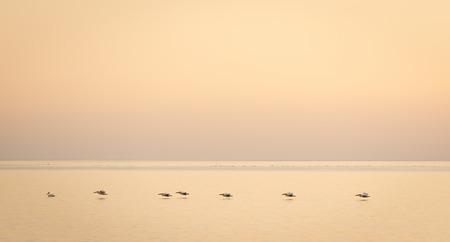 glide: Pelicans glide across the Makgadikgadi Pan at dusk in Botswana, Africa