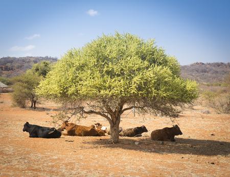 land mammal: Botswana beef cattle resting under a tree in rural Botswana, Africa Stock Photo