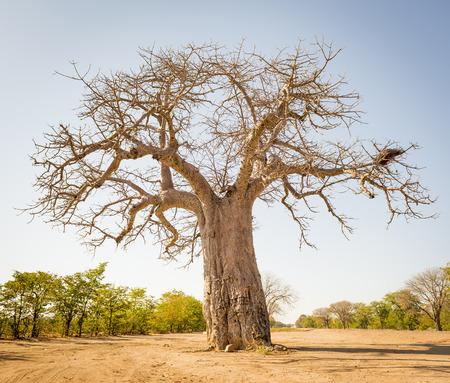 Massiver Baobab-Baum in Botswana, Afrika