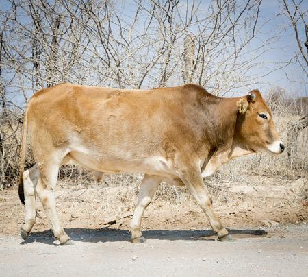 botswana: Botswana beef cattle rural Botswana, Africa