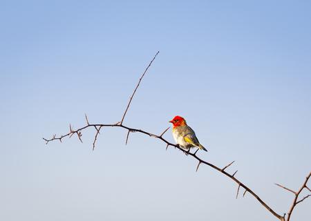 weaver bird: Red headed weaver bird (Anaplectes rubriceps) in Botswana, Africa