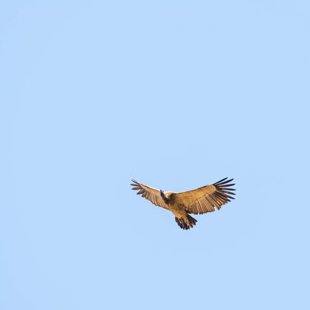 span: Vulture in flight overhead against a blue sky in Africa