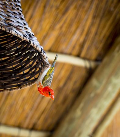 headed: Red headed weaver bird (Anaplectes rubriceps) in Botswana, Africa