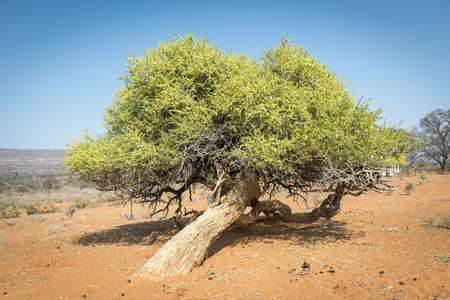 rural areas: Classic tree in Botswana, Africa in the rural areas