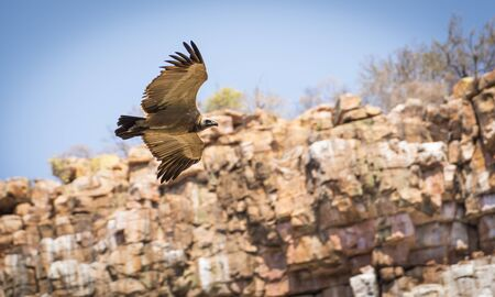 wing span: Large Vulture in flight soaring down a canyon wall in Botswana, Africa