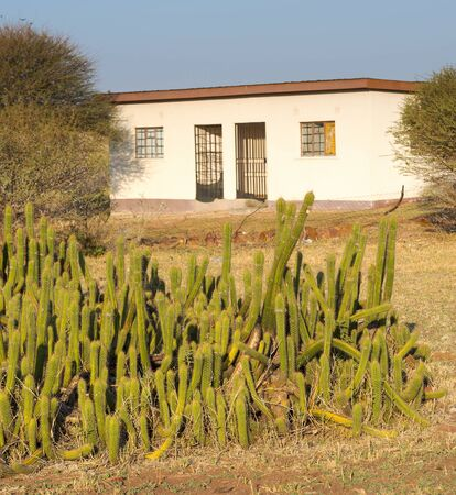 spikey: Cactus garden of large green spikey cacti grows outside a house in Botswana, Africa