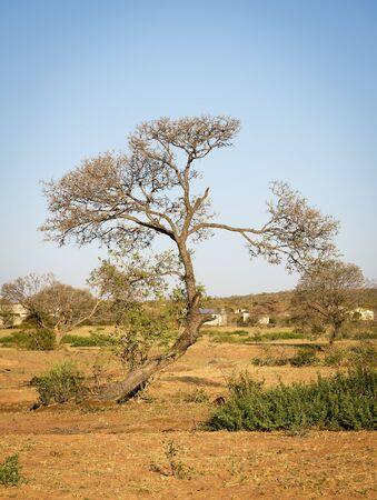 botswana: Bent tree in rural Botswana, Africa Stock Photo