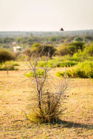 spikey: Small bird in flight over a spikey tree in Botswana, Africa