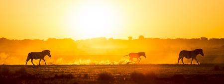 Silhouettierte Zebrafamilie gehen über den afrikanischen Sonnenuntergang, wenn ein Baby Zebra im Staub entlang läuft