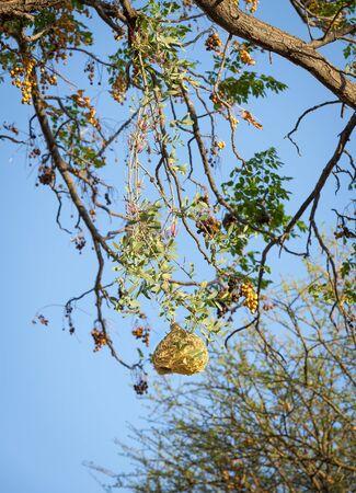 weaver bird: Amazing Weaver Bird nests hang in trees in Botswana, Africa Stock Photo