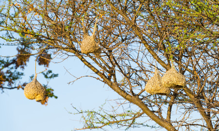 weaver bird nest: Amazing Weaver Bird nests hang in trees in Botswana, Africa Stock Photo