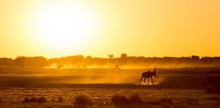 silhouetted: Africa sunset landscape with silhouetted Impala walking on the dusty ground in Botswana, Africa