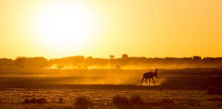 Afrika Sonnenuntergang Landschaft mit silhouetted Impala in Botswana auf dem staubigen Boden zu Fuß, Afrika