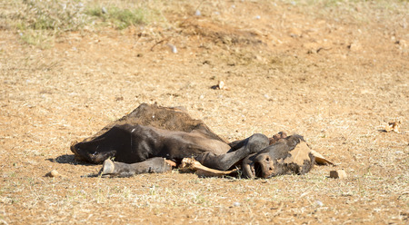 Dead cow decaying in the drought conditions in Botswana, Africa Stockfoto
