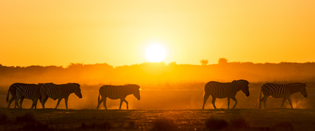 south africa: Zebra at sunset in Botswana, Africa with beautiful sunset light