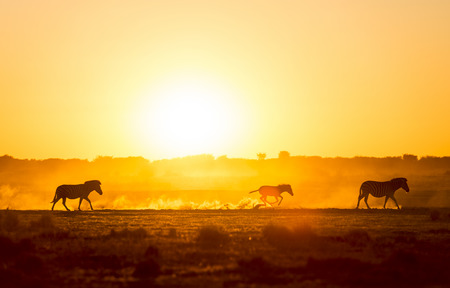 silhouetted: Silhouetted Zebra family walk across the African sunset, with a baby Zebra racing along in the dust